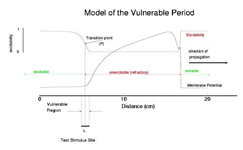 model of cardiac vulnerable period